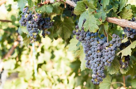 vineyard-300x460